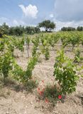 Αμπελώνας στη γαλλική περιοχή της Προβηγκίας και τις κόκκινες ανθίζοντας παπαρούνες Στοκ φωτογραφίες με δικαίωμα ελεύθερης χρήσης