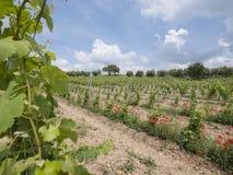 Αμπελώνας στη γαλλική περιοχή της Προβηγκίας και τις κόκκινες ανθίζοντας παπαρούνες Στοκ Φωτογραφίες