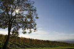 αμπελώνας τοπίων φθινοπώρ&omic Στοκ Εικόνες