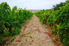 Αμπελώνας Domaine de Maguelone κοντά στο Μονπελιέ, νότια Γαλλία, Στοκ φωτογραφίες με δικαίωμα ελεύθερης χρήσης