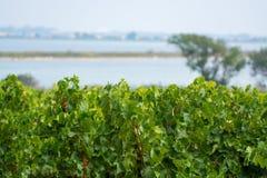 Αμπελώνας Domaine de Maguelone κοντά στο Μονπελιέ, νότια Γαλλία, Στοκ φωτογραφία με δικαίωμα ελεύθερης χρήσης