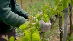 Αμπελώνες στην ιταλική Τοσκάνη Την άνοιξη της αμπέλου με μια πρασινάδα μικρού ποσού, και απαιτήστε την προσοχή φιλμ μικρού μήκους