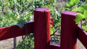 Αμπελοκαλλιέργεια του Μπους δίπλα στις ξύλινες ράμπες απόθεμα βίντεο