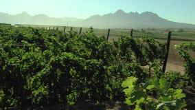 Αμπελώνας έξω από το Καίηπ Τάουν, Νότια Αφρική απόθεμα βίντεο