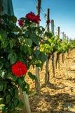αμπελώνας με τα τριαντάφυλλα Στοκ εικόνα με δικαίωμα ελεύθερης χρήσης