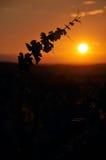 Αμπελώνας στο ηλιοβασίλεμα Στοκ Εικόνα