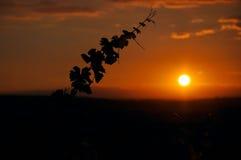 Αμπελώνας στο ηλιοβασίλεμα Στοκ εικόνες με δικαίωμα ελεύθερης χρήσης