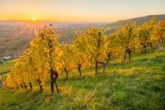 Αμπελώνας τοπίων φθινοπώρου με τις ηλιαχτίδες Στοκ Εικόνα