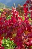 Αμπελώνας το φθινόπωρο Στοκ Φωτογραφίες
