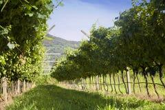 Αμπελώνας Prosecco με τα πράσινα και κίτρινα ηλιόλουστα φύλλα σε Valdobiaddene, Ιταλία Στοκ φωτογραφίες με δικαίωμα ελεύθερης χρήσης
