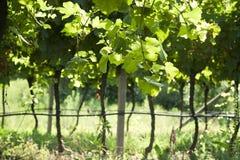 Αμπελώνας Prosecco με τα πράσινα και κίτρινα ηλιόλουστα φύλλα σε Valdobiaddene, Ιταλία Στοκ εικόνα με δικαίωμα ελεύθερης χρήσης