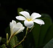 λαμπρό plumeria frangipani λουλουδιών Στοκ εικόνα με δικαίωμα ελεύθερης χρήσης