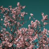 Αμυγδαλιά με το λουλούδι Στοκ Εικόνα
