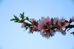 Αμυγδαλιά στα ρόδινα λουλούδια Στοκ Εικόνες
