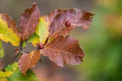 Αμυχές του fagi mikiola εντόμων στα φύλλα οξιών στοκ εικόνα με δικαίωμα ελεύθερης χρήσης