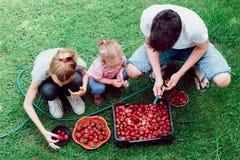 Αμφιθαλείς που πλένουν τις φράουλες Στοκ εικόνες με δικαίωμα ελεύθερης χρήσης