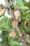 Αμύγδαλο στο δέντρο του (2) Στοκ Εικόνες