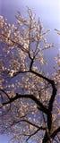 αμύγδαλο Στοκ εικόνες με δικαίωμα ελεύθερης χρήσης