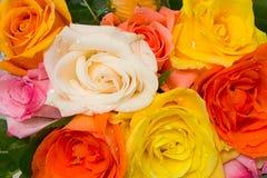 ανάμεικτα τριαντάφυλλα Στοκ Φωτογραφία