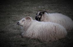 Ανάπαυση δύο γούνινη προβάτων στο λιβάδι στοκ φωτογραφίες