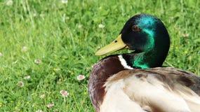 Ανάπαυση και ηλιοθεραπεία ενός αρσενικού πρασινολαίμη στοκ εικόνα