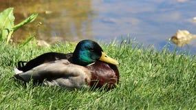 Ανάπαυση και κάνοντας ηλιοθεραπεία πρασινολαίμης στοκ εικόνες με δικαίωμα ελεύθερης χρήσης