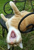 Ανάποδα, χασμουρητό γατών Στοκ εικόνες με δικαίωμα ελεύθερης χρήσης
