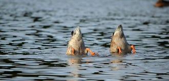 Ανάποδες πάπιες Στοκ εικόνα με δικαίωμα ελεύθερης χρήσης