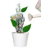 Ανάπτυξη δέντρων δολαρίων ποτίσματος πράσινη στο άσπρο δοχείο Στοκ φωτογραφία με δικαίωμα ελεύθερης χρήσης