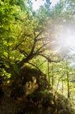 Ανάπτυξη δέντρων στο βράχο Στοκ Εικόνα