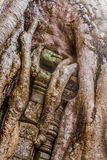 Ανάπτυξη δέντρων Strangulosa Banyan Ficus πέρα από μια πόρτα στο anci Στοκ εικόνα με δικαίωμα ελεύθερης χρήσης