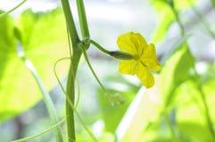 Ανάπτυξη αγγουριών στον κήπο Λουλούδια και φύλλα Στοκ Φωτογραφία