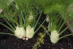 Ανάπτυξη λαχανικών γογγυλιού στην πλοκή Στοκ Φωτογραφίες