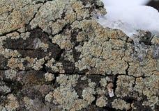 Ανάπτυξη βρύου λειχήνων στο φλοιό ενός δέντρου Σύσταση του φλοιού δέντρων με το ξηρό βρύο Στοκ Εικόνες