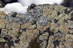 Ανάπτυξη βρύου λειχήνων στο φλοιό ενός δέντρου Σύσταση του φλοιού δέντρων με το ξηρό βρύο Στοκ εικόνες με δικαίωμα ελεύθερης χρήσης