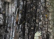 Ανάπτυξη βρύου λειχήνων στο φλοιό ενός δέντρου Σύσταση του φλοιού δέντρων με το ξηρό βρύο Στοκ Εικόνα