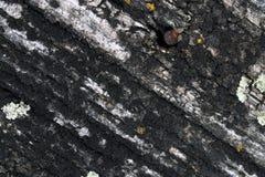Ανάπτυξη βρύου λειχήνων στο φλοιό ενός δέντρου Σύσταση του φλοιού δέντρων με το ξηρό βρύο Στοκ φωτογραφία με δικαίωμα ελεύθερης χρήσης