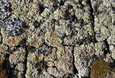 Ανάπτυξη βρύου λειχήνων στο φλοιό ενός δέντρου Σύσταση του φλοιού δέντρων με το ξηρό βρύο Στοκ Φωτογραφίες