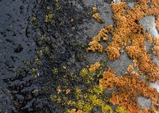 Ανάπτυξη βρύου λειχήνων στο φλοιό ενός δέντρου Σύσταση του φλοιού δέντρων με το ξηρό βρύο Στοκ φωτογραφίες με δικαίωμα ελεύθερης χρήσης