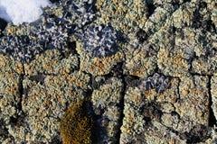 Ανάπτυξη βρύου λειχήνων στο φλοιό ενός δέντρου Σύσταση του φλοιού δέντρων με το ξηρό βρύο Στοκ Φωτογραφία