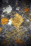 Ανάπτυξη βρύου στην πέτρα Στοκ Φωτογραφία