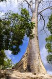 Ανάπτυξη δέντρων στο ναό TA Prohm Στοκ Εικόνες