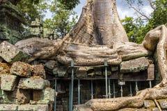 Ανάπτυξη δέντρων στο ναό TA Prohm Στοκ Εικόνα
