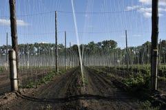 Ανάπτυξη εγκαταστάσεων λυκίσκου σε ένα αγρόκτημα λυκίσκου Φρέσκοι και ώριμοι λυκίσκοι την άνοιξη Συστατικό παραγωγής μπύρας Παρασ στοκ φωτογραφίες με δικαίωμα ελεύθερης χρήσης