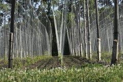 Ανάπτυξη εγκαταστάσεων λυκίσκου σε ένα αγρόκτημα λυκίσκου Φρέσκοι και ώριμοι λυκίσκοι την άνοιξη Συστατικό παραγωγής μπύρας Παρασ στοκ εικόνες με δικαίωμα ελεύθερης χρήσης