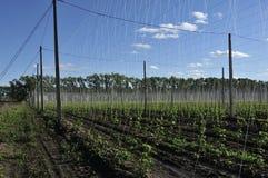 Ανάπτυξη εγκαταστάσεων λυκίσκου σε ένα αγρόκτημα λυκίσκου Φρέσκοι και ώριμοι λυκίσκοι την άνοιξη Συστατικό παραγωγής μπύρας Παρασ στοκ φωτογραφίες