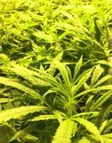 Ανάπτυξη εγκαταστάσεων μαριχουάνα στοκ φωτογραφίες