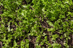 Ανάπτυξη εγκαταστάσεων μαρουλιού στο φυτικό κήπο, φως του ήλιου μαρουλιού, Στοκ εικόνες με δικαίωμα ελεύθερης χρήσης