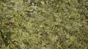 Ανάπτυξη λειχήνων, Anthoceros και βρύου στην πέτρα Στοκ Φωτογραφίες