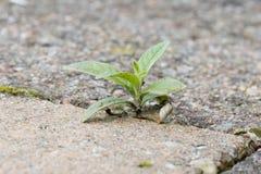 Ανάπτυξη ζιζανίων στις ρωγμές μεταξύ των πετρών patio Στοκ εικόνες με δικαίωμα ελεύθερης χρήσης